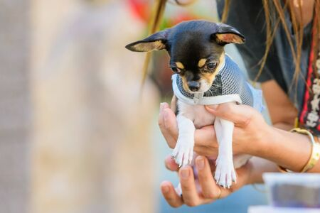 Toy terrier in his arms, dressed in clothes. love for animals, pets. Stockfoto