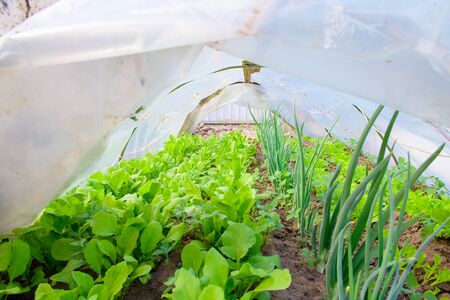 Salad with onions in the greenhouse. eco food.