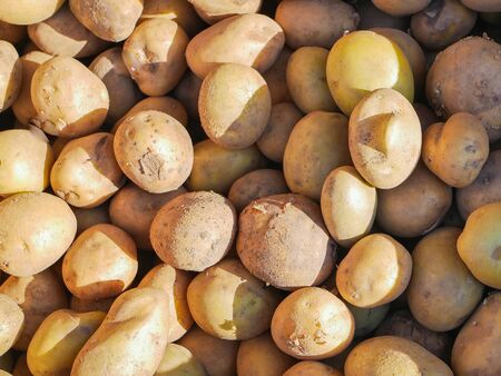 potatoes in the sun. A lot of potatoes. A stack of brown potatoes in the sun. potato harvest.