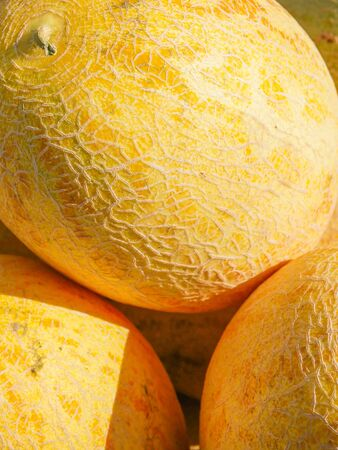 melons in the sun. harvest of melons. Agriculture. good harvest.
