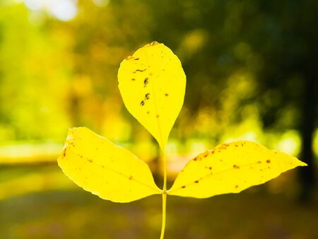 yellow leaf in a hand. against the background of autumn nature. Autumn yellow leaf in a hand. With blur bokeh light. Autumn has come. time of the year. Фото со стока