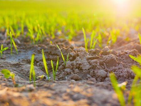 Sprouts of a crop in a field at sunset. Young shoots on the field at sunset. Green grass close-up. Harvest and farming concept.