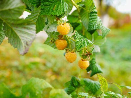 yellow raspberries on a bush. Yellow raspberries on a bush. Close-up of yellow raspberries on a bush.