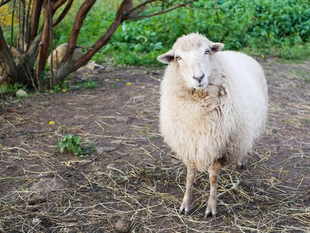 Not a sheared sheep. Sheep breeding. Livestock. White sheep.