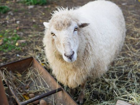 Sheep is looking at the camera. Sheep looking at camera in the field
