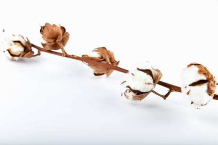 Dried cotton branch on a white background. Floral background Cotton flowers. Natural branch of a dried cotton plant