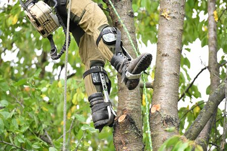 Overalls for climbing trees. Lumberjack works with a chainsaw. In special clothes. Professional in his field. using a chainsaw to trim a walnut tree, pruning trees. Standard-Bild