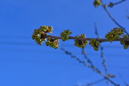 buds of tree branches on a blue sky. The First Spring Buds On A Branch.
