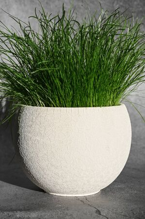 Growing green grass with white pot.