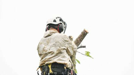 Climber on a tree. Climber on a white background. Arborist man cuts branches with a chainsaw and throws it to the ground. A worker with a helmet works at a height in the trees. Lumberjack works with a chainsaw