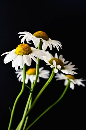 White daisies on a black background. High quality photo