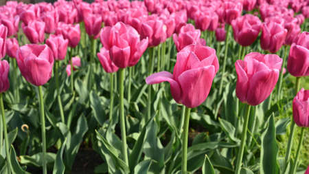 Blooming pink tulips in the sun