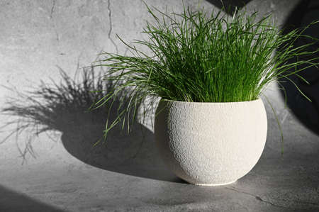 Potted grass with shadow. Morning sun and grass