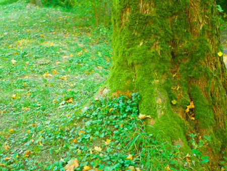 moss covering tree. Deep forest with a centered tree trunk covered with moss under morning sunlight.