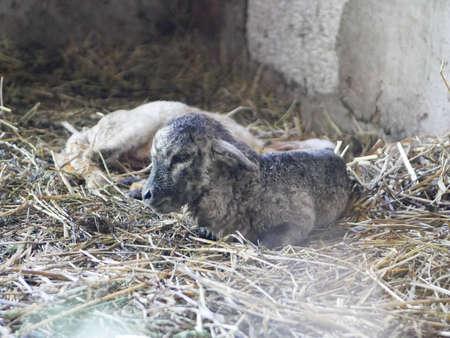 Black and White Newborn Lamb. High quality photo