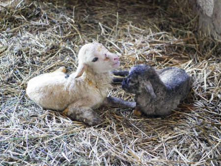 Lamb cannot stand after birth. High quality photo Reklamní fotografie