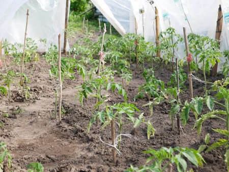 Tomato sprouts tied with a stick. High quality photo