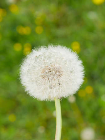 White dandelion on a background of green grass. High quality photo