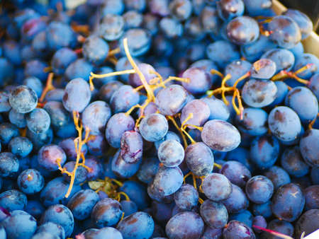 Bunch of blue grapes close up. Reklamní fotografie - 151237621