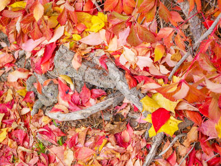 tree roots on yellow-red foliage. High quality photo