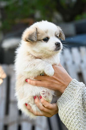 a small light puppy in the arms of a girl. High quality photo