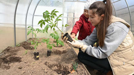 Growing tomatoes in a polycarbonate greenhouse.
