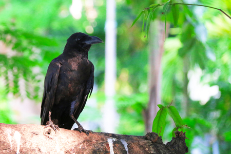 stood: crow stood on branches in a forest Stock Photo