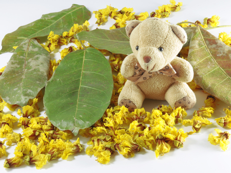fistula: Cassia Flower in summer Cassia flower bear Stock Photo