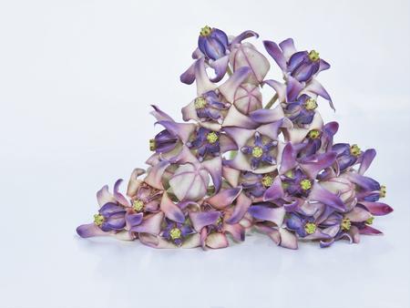 dahlia: Dahlia white background Stock Photo