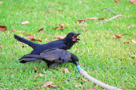 stood: Crow stood on the grass