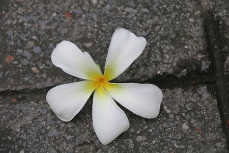 wilted: plumeria flower. plumeria flower one. Plumeria flower wilted. Plumeria flower wilted middle of the road