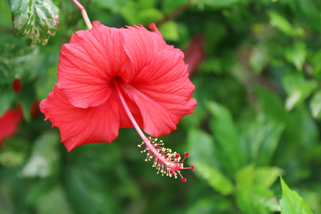 bush to grow up: Hibiscus - the flower which blossoms ony one day. Hibiscus flower. flower. pink flower. flower in garden. red flower. red flower in garden