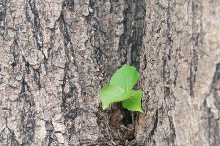 peepal: Bodhi tree regeneration medium selective focus Stock Photo