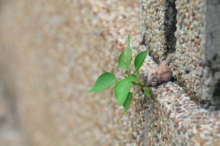 peepal tree: Bodhi tree regeneration medium selective focus Stock Photo