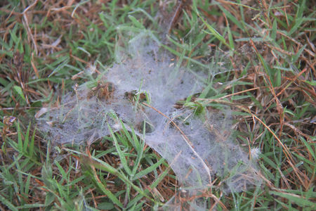drippy: Cobweb and spider on the grass