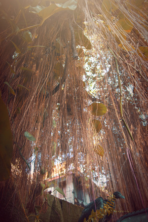 aerial roots: Old banyan tree supported by its aerial roots.