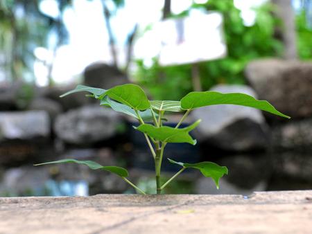regeneration: Bodhi tree regeneration medium with selective and soft focus