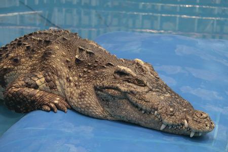 Alligator exhibition Thailand. The crocodile show.