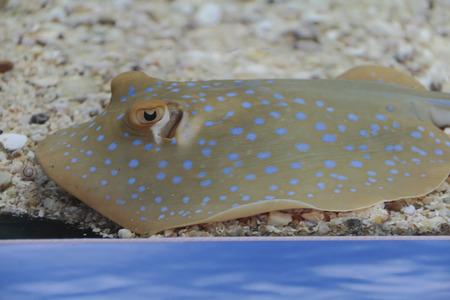 taeniura: Bluespotted ribbontail stingray (Taeniura lymma) Stock Photo