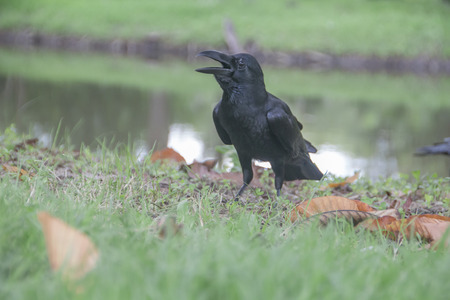 Crow stood on the grass