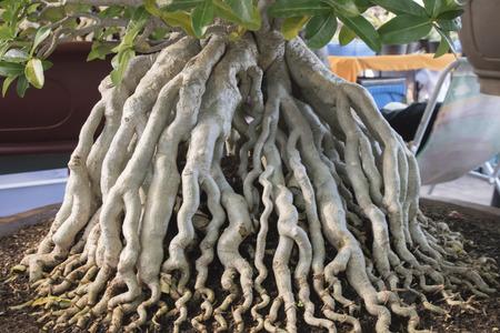 mock azalea: The roots of the azalea trees in flower pots. Stock Photo