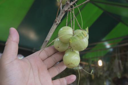 premature: Emblic Myrabolan, Malacca Tree, Indian Gooseberry (PHYLLANTHUS EMBLICA LINN.) Fruit, herbs or medicinal properties.