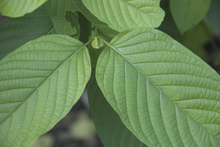 Mitragyna speciosa Korth. Havil. kratom a drug from plant to a category 5 in thailand Stock Photo