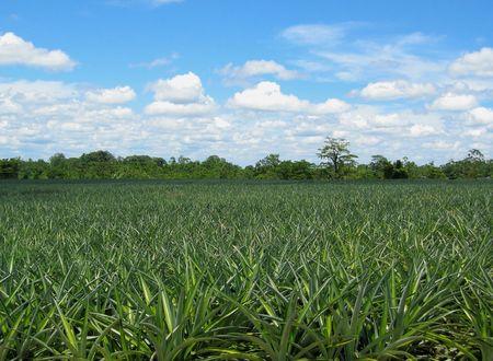 pineapple field Zdjęcie Seryjne