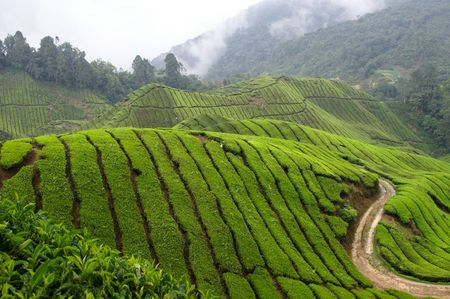 green hills of tea field in the mountain of a rain forest