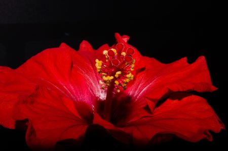close up of an red hibiscus