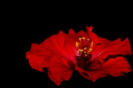 close up of a red hibiscus on a dark background Stock Photo - 3418041