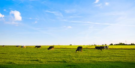 green pasture with grazing cows and blue cloudy sky  Stock Photo