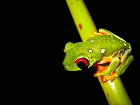 red eyed tree frog sitting on a twig