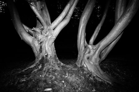 lugubrious: spooky trees in a forest nice for halloween or scary events in black and white
